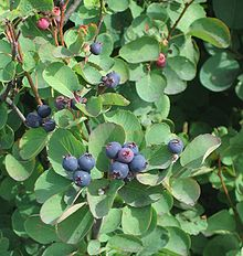 Serviceberries1